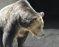 A Close Portrait of a Grizzly Bear Royalty Free Stock Photography