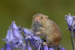 Harvest mouse on bluebells royalty free stock images