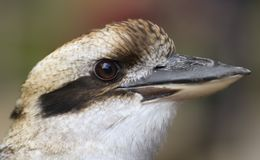 A Close Portrait of a Laughing Kookaburra royalty free stock photos