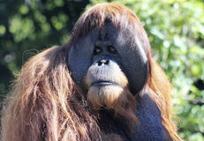 A Close Portrait of a Male Orangutan Royalty Free Stock Photos