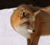 Close portrait of red fox Royalty Free Stock Photography