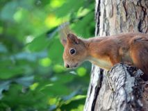Red squirrel looking down curiously from the chestnut tree Stock Photo