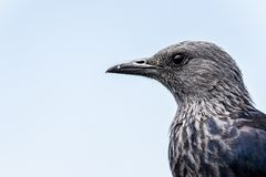 Red winged starling in South Africa stock photo