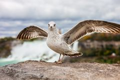 Close portrait of a seagull with spread wings. A bird stands on a stone against the backdrop of a beautiful waterfall royalty free stock image