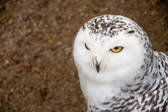 Close portrait of snowy owl Stock Photos