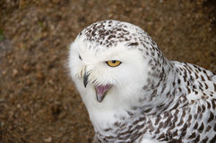Close portrait of snowy owl Royalty Free Stock Photography