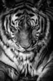 Close portrait of a tiger royalty free stock images