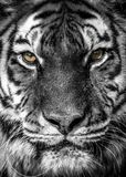 Close portrait of a tiger royalty free stock photos