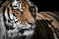 Close portrait of a tiger stock images