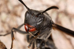 Close portrait of a wasp. Royalty Free Stock Photo