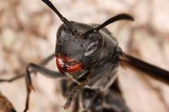 Close portrait of a wasp. Fauna of Rain forest of Ecuador (Hymenoptera, Apocrita, Vespoidea Royalty Free Stock Photo