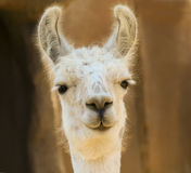 A Close Portrait of a White Llama Royalty Free Stock Images