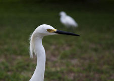 Close portrait of a white snow  egret Stock Image