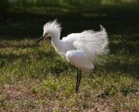 Close portrait of a white snow  egret Stock Photos