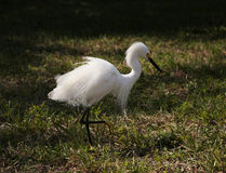 Close portrait of a white snow  egret Royalty Free Stock Images
