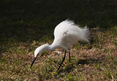 Close portrait of a white snow  egret Stock Photography