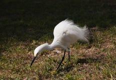 Close portrait of a white snow  egret Stock Photography