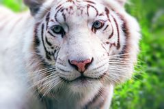 White tiger. Close portrait of white tiger in the wild Royalty Free Stock Photos