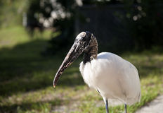 Close portrait of a Wood stork Royalty Free Stock Photo