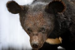Close portrait of a young black bear walking on the ground,. Sneaking up quietly stock photo
