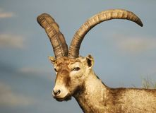 A Close Portrait of a Young Ibex, Genus Capra Royalty Free Stock Images