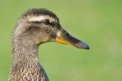 Close Profile of Mallard Duck on a Green Background. Close Profile of Female Mallard Duck on a Green Background Stock Image