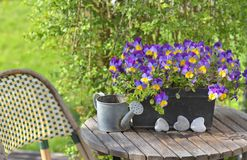 Viola in a flowerpot on a garden table with a little watering can. Close on purple viola in a flowerpot on a garden table with a little watering can royalty free stock photos