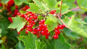 Close red currant bush stock footage