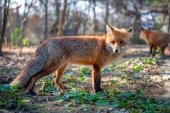 Close red fox in forest stock photography