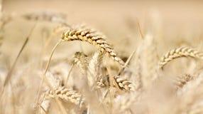 Close on ripe wheat Royalty Free Stock Image