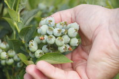 Close on Ripening Blueberry and Hand Stock Photography