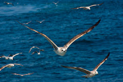 Close Seagull Flying Royalty Free Stock Photography