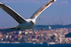 Close Seagull Flying and Looking Royalty Free Stock Images