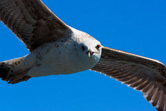 Close Seagull looking and flying Royalty Free Stock Image