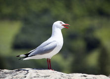Close Seagull View Royalty Free Stock Images