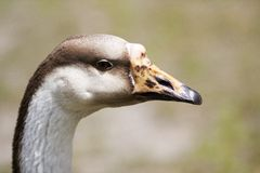 Goose Up Close and Personal. Close sharp portrait of a goose in profile, showing off the intricate details of the beak and feathers stock photography