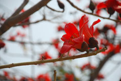 Kapok flower Stock Photos