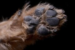 Close shot of an adorable Yorkshire terrier paw. Studio shot, isolated on black stock images