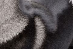 Close shot of an american Akita`s coat.  stock photography