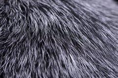 Close shot of an Australian Cattle Dog`s hair. Studio shot stock photography