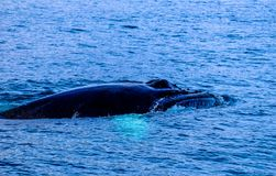 Close shot of a black whale in the water