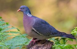 Close shot Common wood pigeon lovely posing on a stump in sweet forest light royalty free stock photos