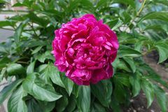 Close shot of deep pink flower of peony. Close shot of deep pink flower of common peony stock image
