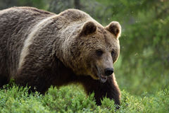 Close shot of large male brown bear Stock Photo