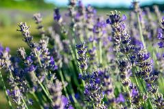 A close shot of a lavender plant. Took from a lavender field royalty free stock photos