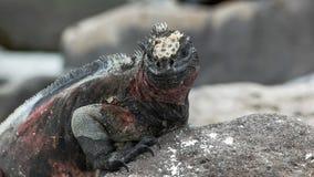 Close shot of a marine iguana on isla espanola. Close shot of the head of a marine iguana on isla espanola in the galapagos royalty free stock photos