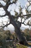 Close shot of an oak Royalty Free Stock Photos