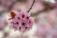 Free Close Shot Of A Japanese Flowering Cherry In Austria Royalty Free Stock Photography - 215675977