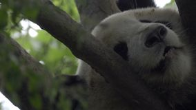 Close shot of a Panda nose while sleeping. In a tree stock footage