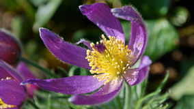 Close shot of a purple pasqueflower. A close shot of a purple pasqueflower in a garden during summer Stock Photos